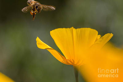 Photograph - Bee And Poppy 2 by Marianne Jensen