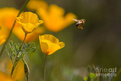 Photograph - Bee And Poppy by Marianne Jensen
