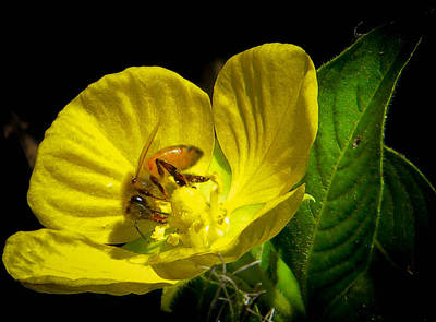 Photograph - Bee And Primrose Willow by Christy Usilton