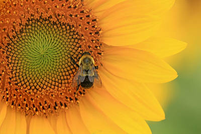 Photograph - Bee And Sunflower by Carolyn Derstine