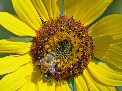 Floral Photograph - Bee And Sunflower by Renee Barnes