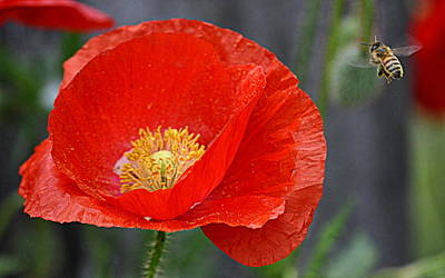 Photograph - Bee And The Red Poppy by AJ  Schibig