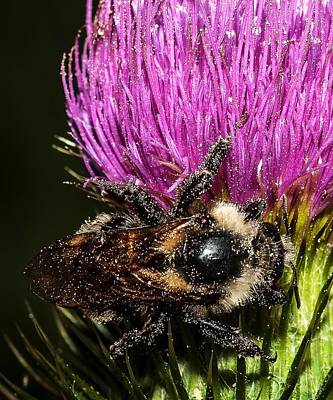 Photograph - Bee And Thistle by John McArthur