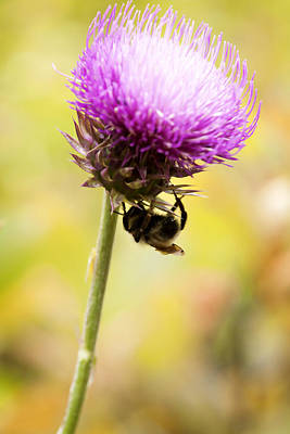 Hangs Upside Down Photograph - Bee And Thistle by Marilyn Hunt