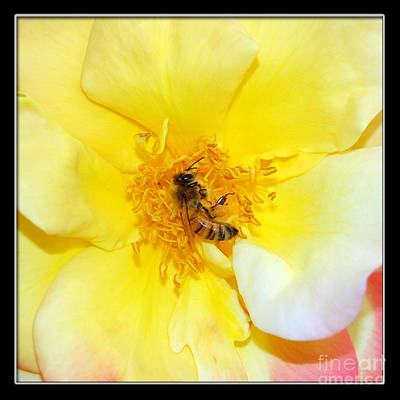 Photograph - Bee At Rose Center by Debra Thompson
