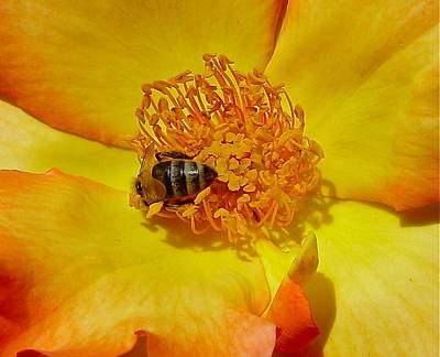 Photograph - Bee At Work by Denise Mazzocco