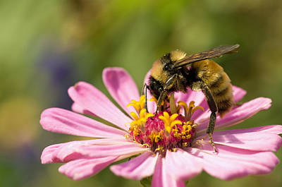Photograph - Bee At Work by Greg Graham