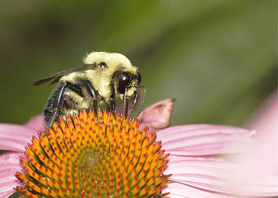 Photograph - Bee At Work by Robert Culver