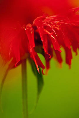 Photograph - Bee Balm Abstract by Jani Freimann
