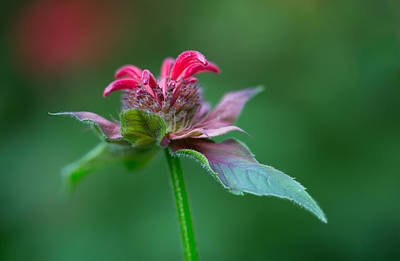 Photograph - Bee Balm by Dale Kincaid