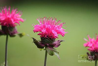 Photograph - Bee Balm by Erica Hanel