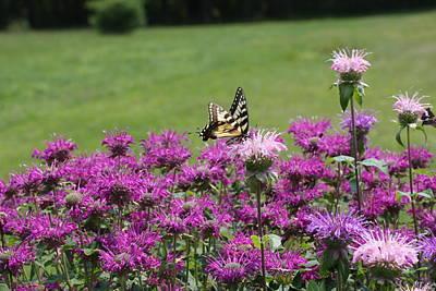Photograph - Bee Balm Heaven by Lucinda VanVleck