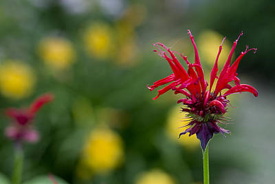 Photograph - Bee Balm  Herb-flower by Trudy Wilkerson