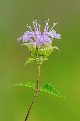 Photograph - Bee Balm by Jim Zablotny