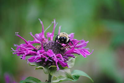 Photograph - Bee Balm by Robert  Moss
