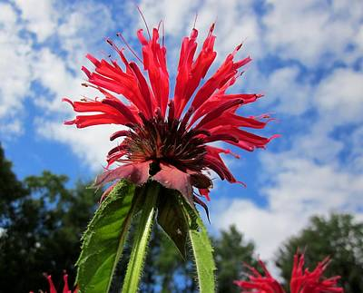Photograph - Bee Balm Sky by MTBobbins Photography