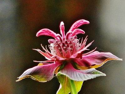 Art Print featuring the photograph Bee Balm's Beauty by VLee Watson