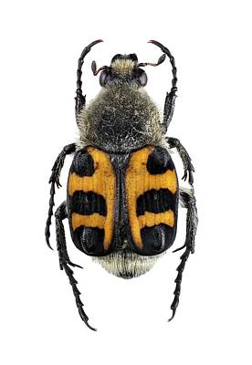 Scarab Photograph - Bee Beetle by F. Martinez Clavel