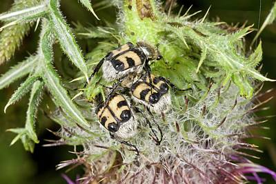 Bee Beetles On Thistle Art Print by Bob Gibbons