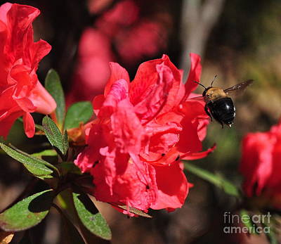 Bumble Bee Photograph - Bee Big With Stinger Tailing by Wayne Nielsen