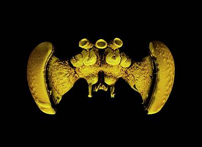 X-ray Image Photograph - Bee Brain by Dan Sykes/natural History Museum, London