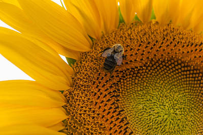 Sunflowers Royalty-Free and Rights-Managed Images - Bee Business by Kristopher Schoenleber