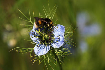 Photograph - Bee Collecting Pollen by Chris Day
