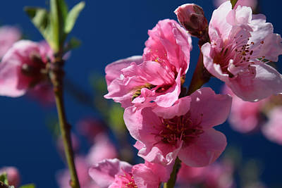 Photograph - Bee Deep In A Nectarine Blossom by Frank Wilson