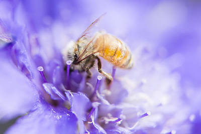 Photograph - Bee Dream by Caitlyn  Grasso