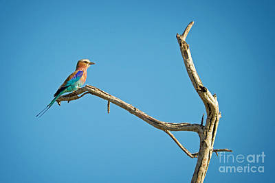 Birds Royalty-Free and Rights-Managed Images - Bee eater by Delphimages Photo Creations