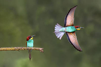 Hide Wall Art - Photograph - Bee-eater Going For Food by Xavier Ortega