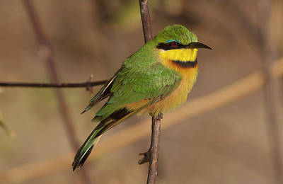 Bee Eater Posed On Branch, Botswana Art Print