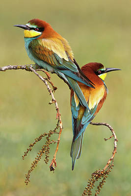 Pair Photograph - Bee-eaters In Love by Mario Su?rez