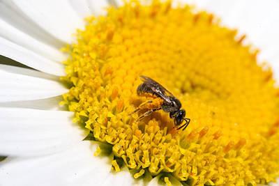 Apocrita Photograph - Bee Feeding On Daisy Pollen by Douglas Barnett