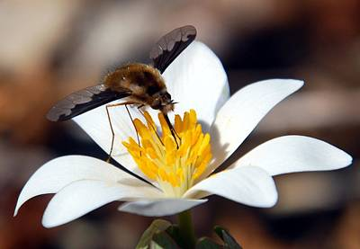 Photograph - Bee Fly And Bloodroot by Cascade Colors
