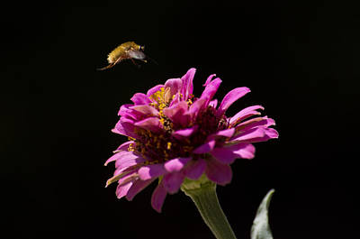 Bee Fly In Flight Art Print by Shelly Gunderson