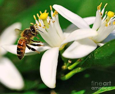 Bee Photograph - Bee Bees For Honey Gently Flies by Wayne Nielsen