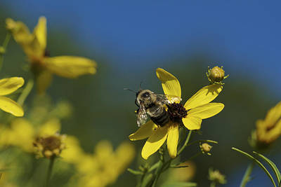 Photograph - Bee Good - Bee On Yellow Wildflowers by Jane Eleanor Nicholas