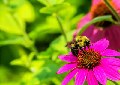 Fuschia Photograph - Bee Happy by Jon Woodhams