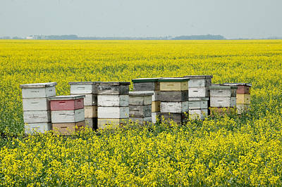 Photograph - Bee Hives In A Canola Field In Southern Manitoba. by Rob Huntley