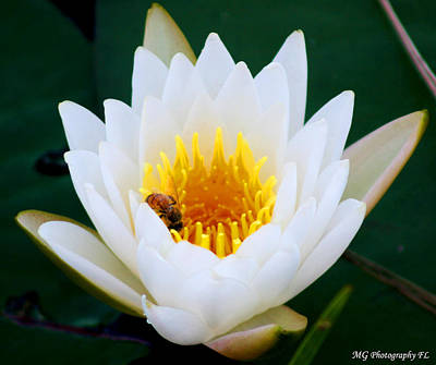 Bee In A Lily  Art Print by Marty Gayler