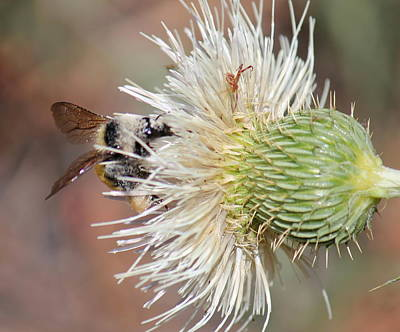 Photograph - Bee In A Thistle by Trent Mallett
