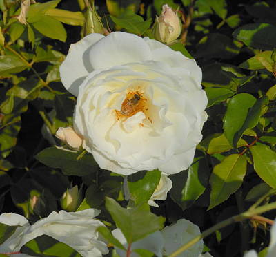 Bee In A White Rose Print by Kay Gilley