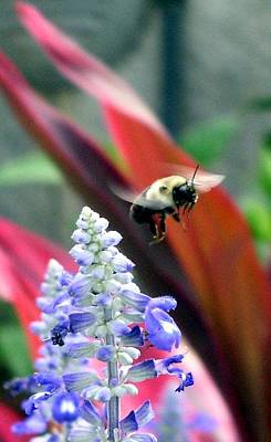 Photograph - Bee In Flight by Cleaster Cotton