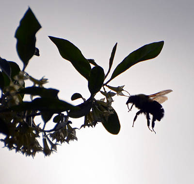 Print featuring the photograph Bee In Flight  by Kerri Farley