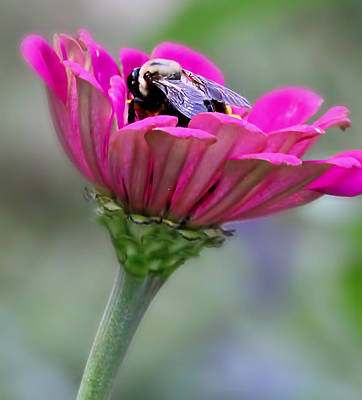 Photograph - Bee In Pink Flower by Deb Buchanan