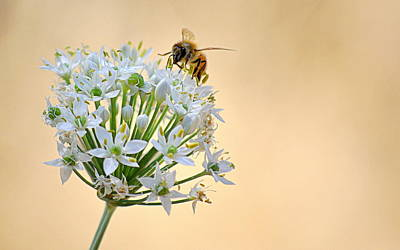 Photograph - Bee In The Garlic Chives by AJ  Schibig