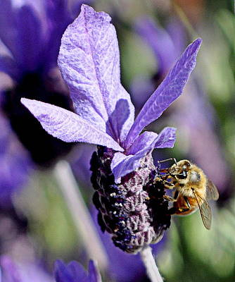 Photograph - Bee In The Lavender by AJ  Schibig