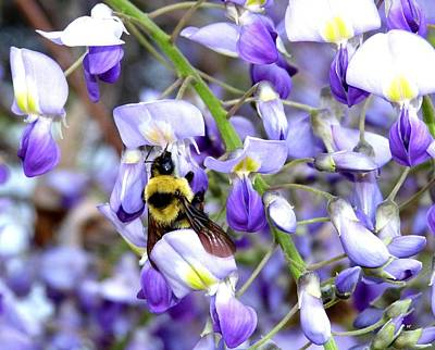 Photograph - Bee In The Wisteria by Will Borden