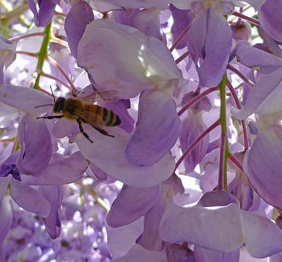 Photograph - Bee In Wisteria by Claudia Goodell